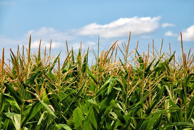 corn-field3